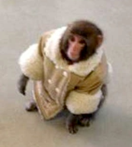 Darwin the Ikea Monkey from Toronto