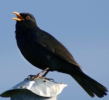 Tweet of the Day - the blackbird